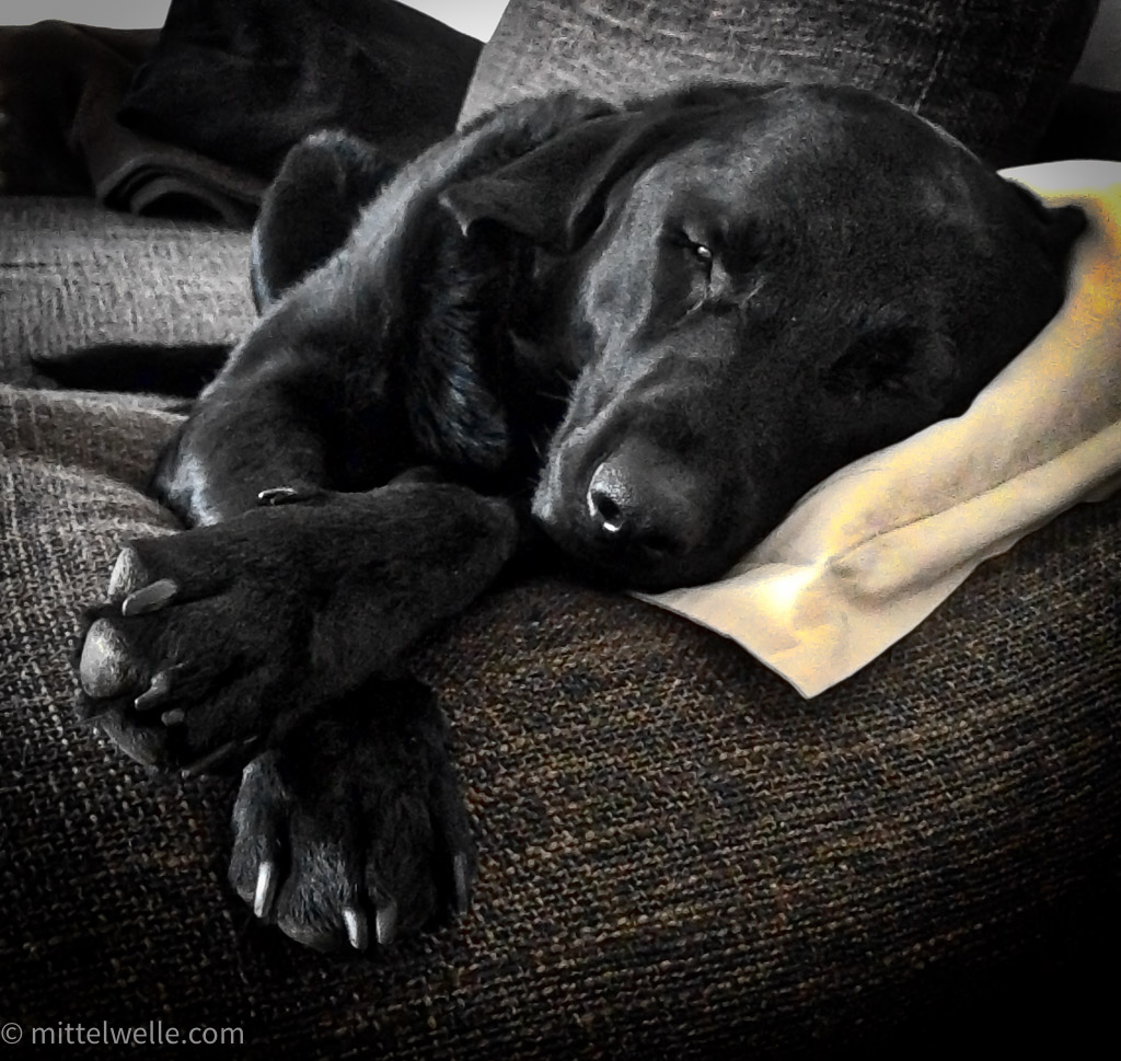 wpid3968-Labrador-auf-dem-Sofa.jpg