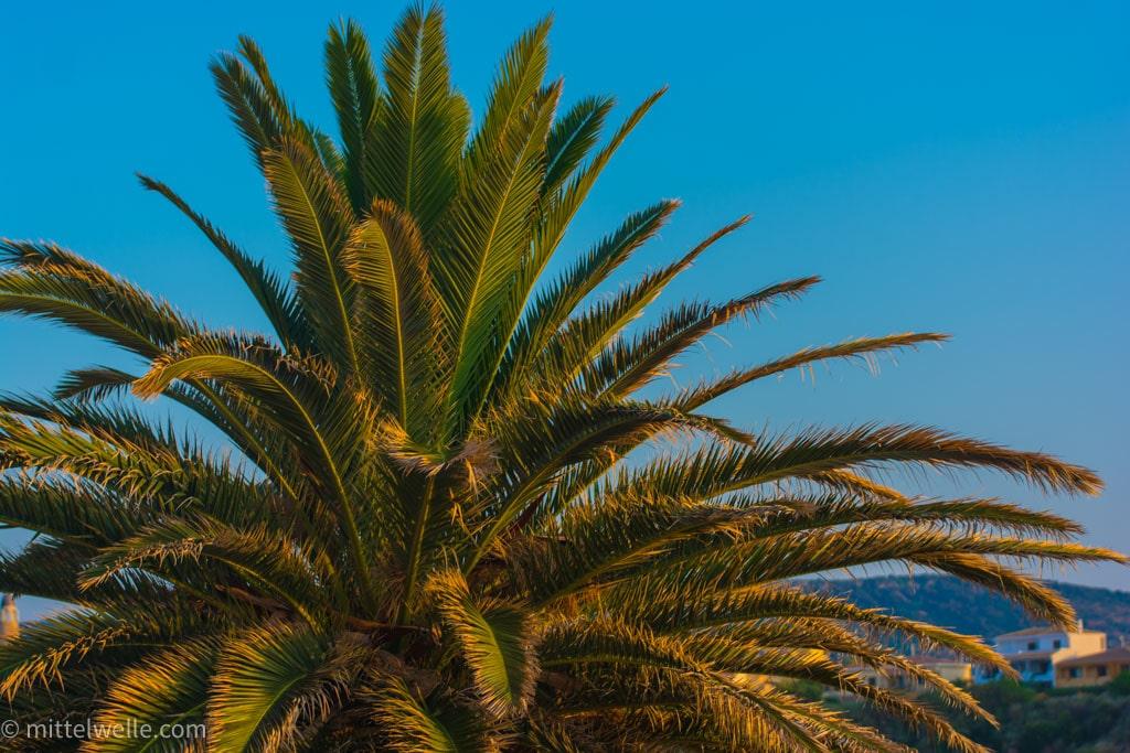 Palme auf Sardinien