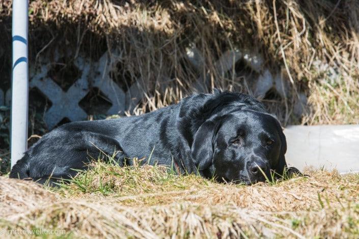 Labrador in der Sonne