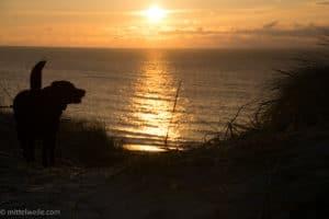Labrador mag Sonnenuntergang